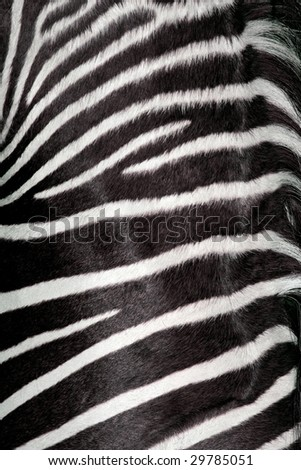 zebra texture (real) - stock photo
