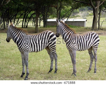 Zebra twins - stock photo