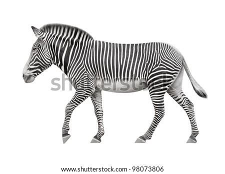 zebra walking on a white background - stock photo