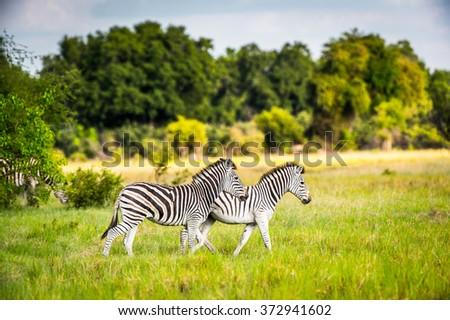 Zebra walks on the grass in the Moremi Game Reserve (Okavango River Delta), National Park, Botswana - stock photo