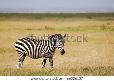 Zebra with bird on her back, Amboseli, Kenya - stock photo
