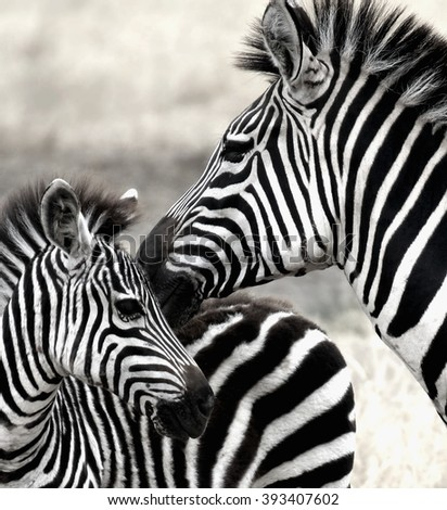 zebra with his mother photographed during a African safari  - stock photo
