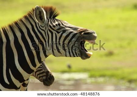 Zebra Yawning profile - stock photo