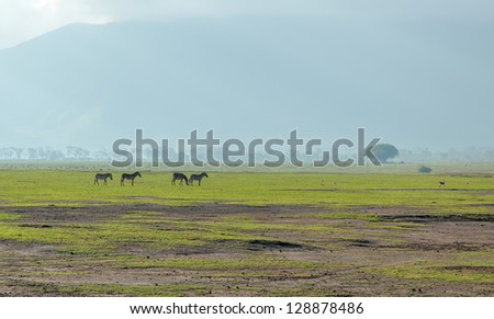 Zebras and any animals in the Crater Ngorongoro National Park - Tanzania, Eastern Africa - stock photo