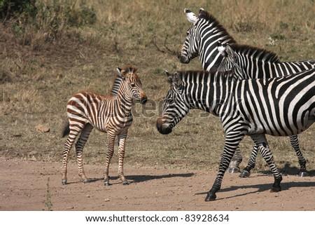 Zebras and baby - stock photo