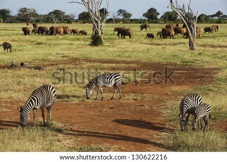 Zebras and elephants in Tsavo East Park 01 - stock photo
