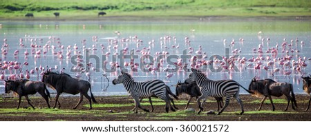 Zebras and wildebeests walking beside the lake in the Ngorongoro Crater, Tanzania, flamingos in the background - stock photo