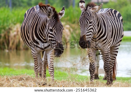 Zebras are living in nature - stock photo