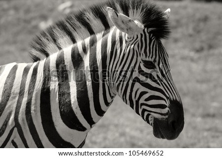 Zebras are several species of African equids (horse family) united by their distinctive black and white stripes. - stock photo