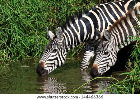 Zebras at a water hole, drinking in Serengeti - stock photo