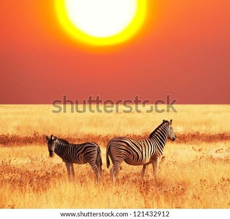 zebras at sunset - stock photo