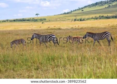 zebras at the masai mara national park kenya - stock photo