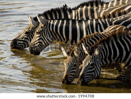 Zebras at the water hole - stock photo