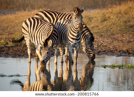 Zebras at the waterhole - stock photo