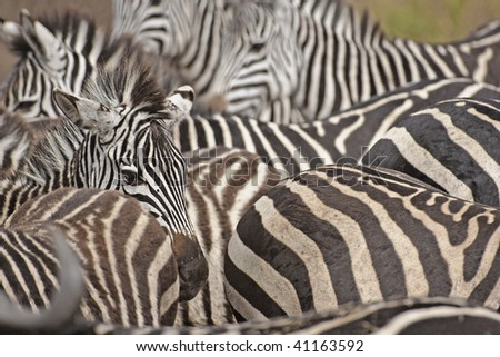 Zebras congregate and migrate through the dry and dusty landscape of the Ngorongoro Crater in search of water, Ngorongoro Crater and Conservation Area, Tanzania. - stock photo
