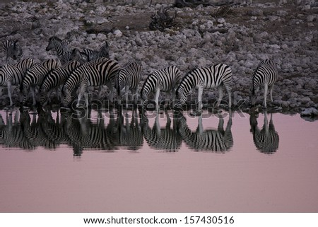 Zebras Drinking at a Lake in Namibia - stock photo