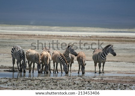 Zebras drinking at a watering hole, looking around for lions, safari in Ngorongoro Crater National Park Reserve, Serengeti, Tanzania, East Africa. Lunar landscape background. - stock photo