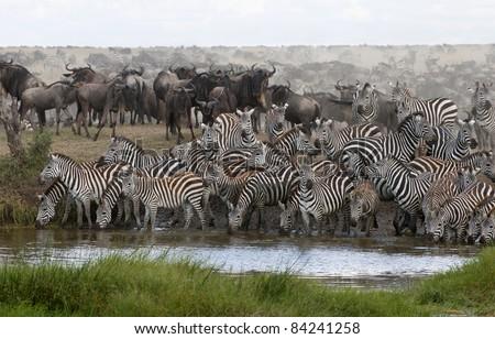 Zebras drinking at the Serengeti National Park, Tanzania, Africa - stock photo