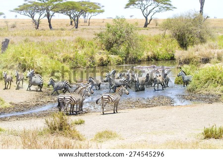 Zebras drinks water in Serengeti - stock photo