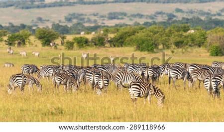 Zebras grazing grass inon the savannah landscape - stock photo