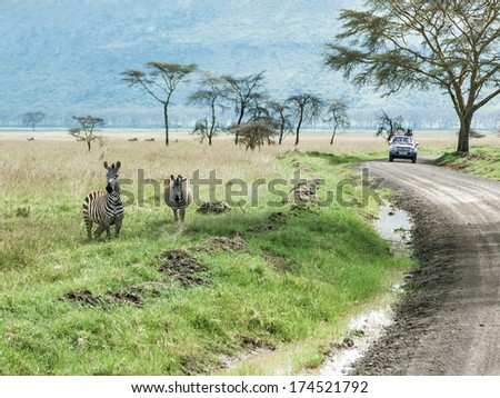 Zebras in Lake Nakuru National Park - Kenya, Eastern Africa - stock photo