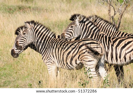 Zebras in the Grass - Hluhluwe Game Reserve, South Africa - stock photo