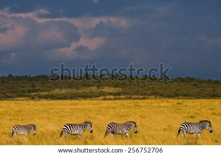 Zebras in the savannah on the background of a stormy sky. Kenya. Masai Mara. The Great Migration. - stock photo