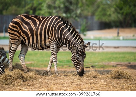 Zebras in the zoo eating grass