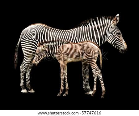 Zebras on Black - stock photo
