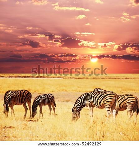 zebras on lake - stock photo