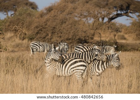 Zebras on the dry african savannah