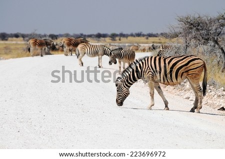 Zebras on the road in Etosha National Park - stock photo