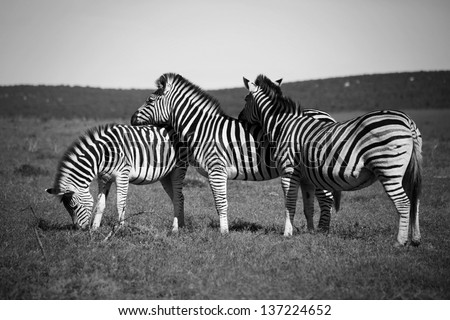 Zebras resting their heads on each others backs - stock photo