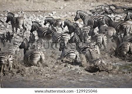 Zebras running from water - stock photo