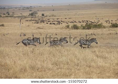 Zebras running in grassland savannah - stock photo