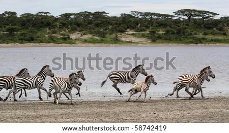 Zebras running in shallow water in the Serengeti National Park, Tanzania - stock photo