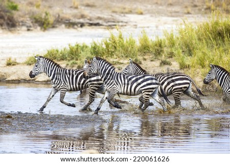 Zebras runs in the water - stock photo