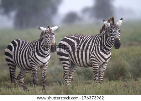 Zebras under the rain in the african savanna