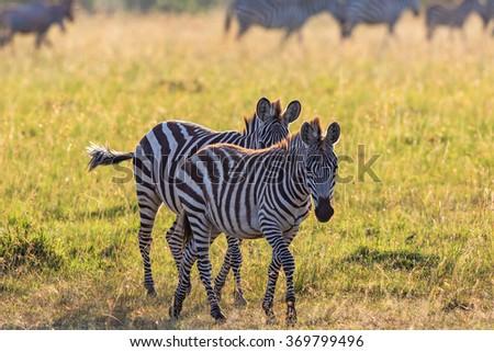 Zebras walking on the savanna - stock photo