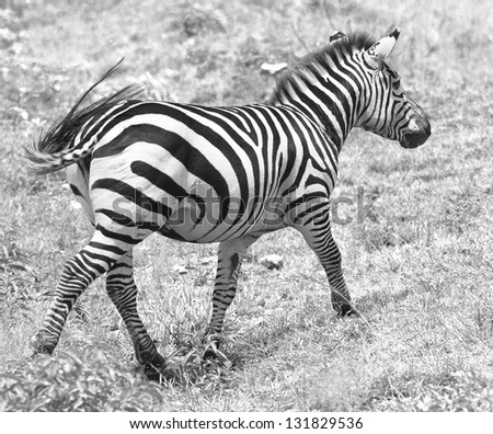 Zebras with baby on the Masai Mara National Reserve - Kenya (black and white) - stock photo