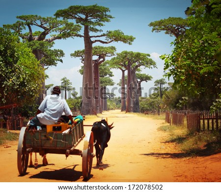 Zebu cart on a dry road leading through baobab alley. Madagascar - stock photo