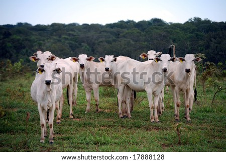 Zebu, the predominant cattle in Brazil, at a recently logged ranch on the edge of the Amazon rainforest. Expanding cattle ranches are the biggest cause of deforestation in Brazil. - stock photo