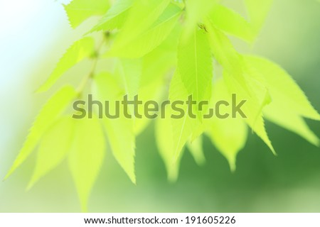 Zelkova tree leaves