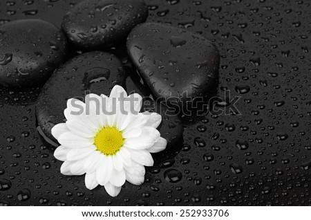 zen basalt stones and daisy isolated on black - stock photo