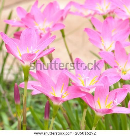 Zephyranthas rosea flowers - stock photo