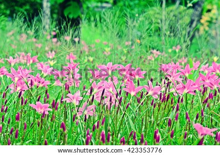 Zephyranthes, fairy lily, rainflower, zephyr lily, magic lily, Atamasco lily, rain lily, meadow, pink flower in rain season - stock photo