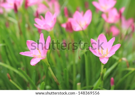 Zephyranthes flower after the rain