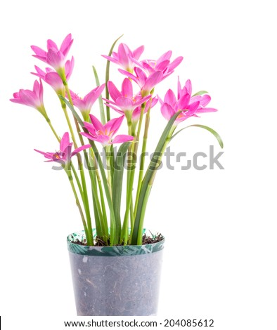 Zephyranthes Lily, Rain Lily ,Fairy Lily, Little Witches in pot  isolated on white
