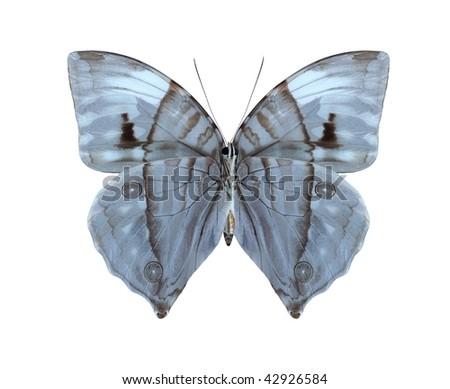 Zeuxidia aurelius aurelius (female) (underside) - stock photo