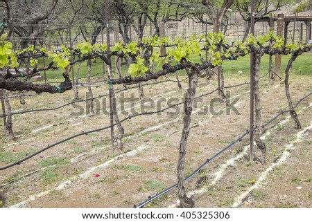 Zinfandel Vines and Irrigation Lines - stock photo